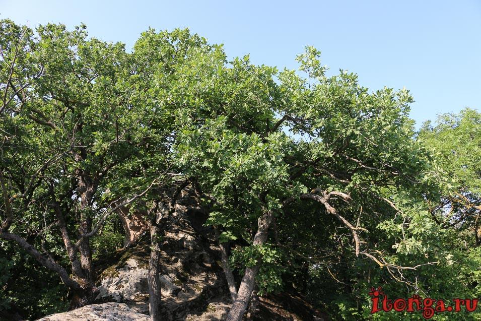 селитряные скалы, Железноводск, дуб