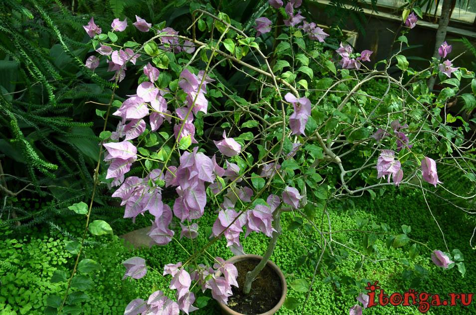 оранжерея, цветы