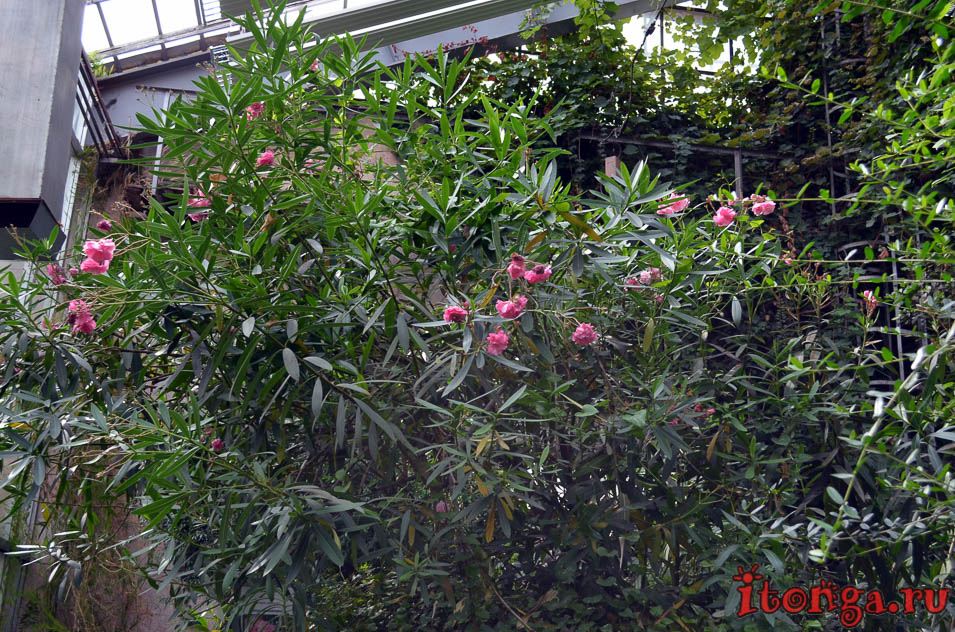 олеандр, оранжерея, сибирский ботанический сад, томск