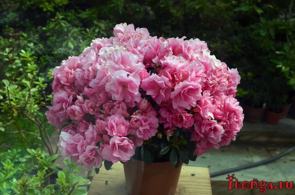 оранжерея, томск, цветы