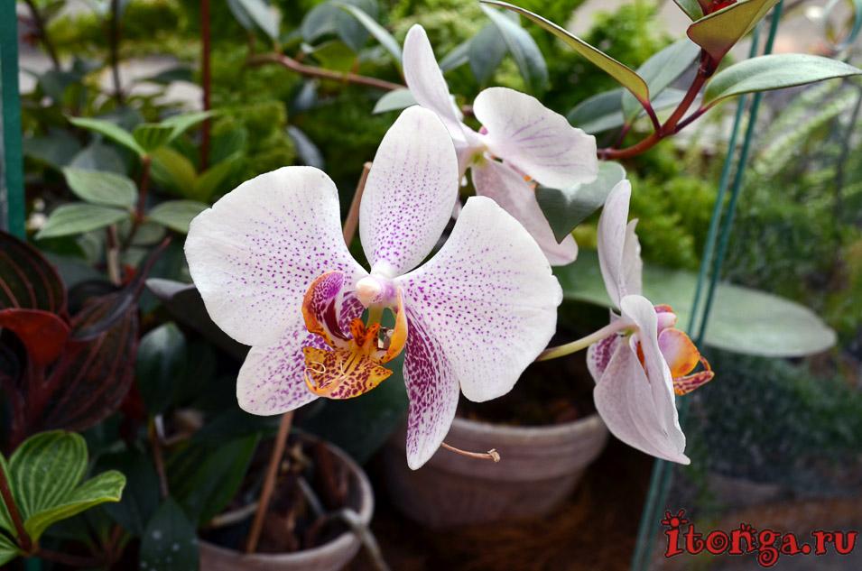 орхидея, оранжерея, цветы
