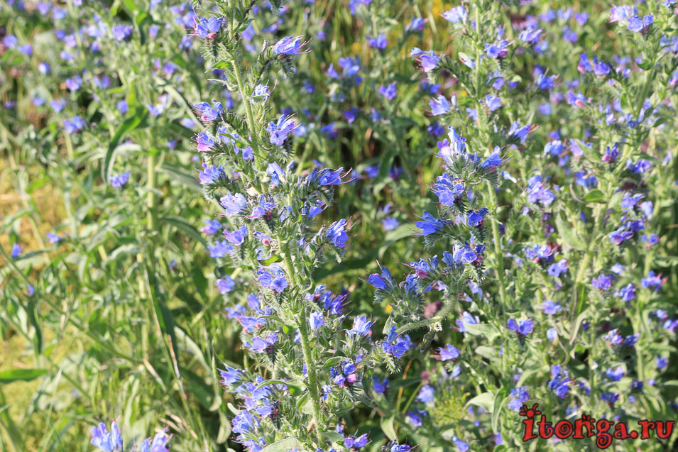 восхождение на Бештау, КМВ, Кавказ, подъём на Малый Тау, цветы