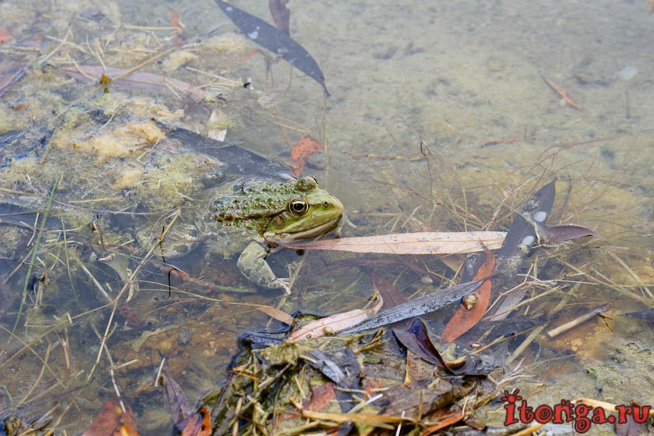 озеро в Железноводске, жаба